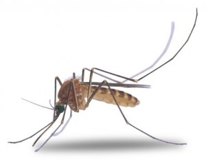 Moustique attiré par la sueur