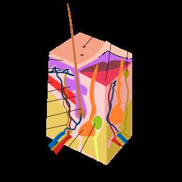 Schéma glande sudoripare et stress