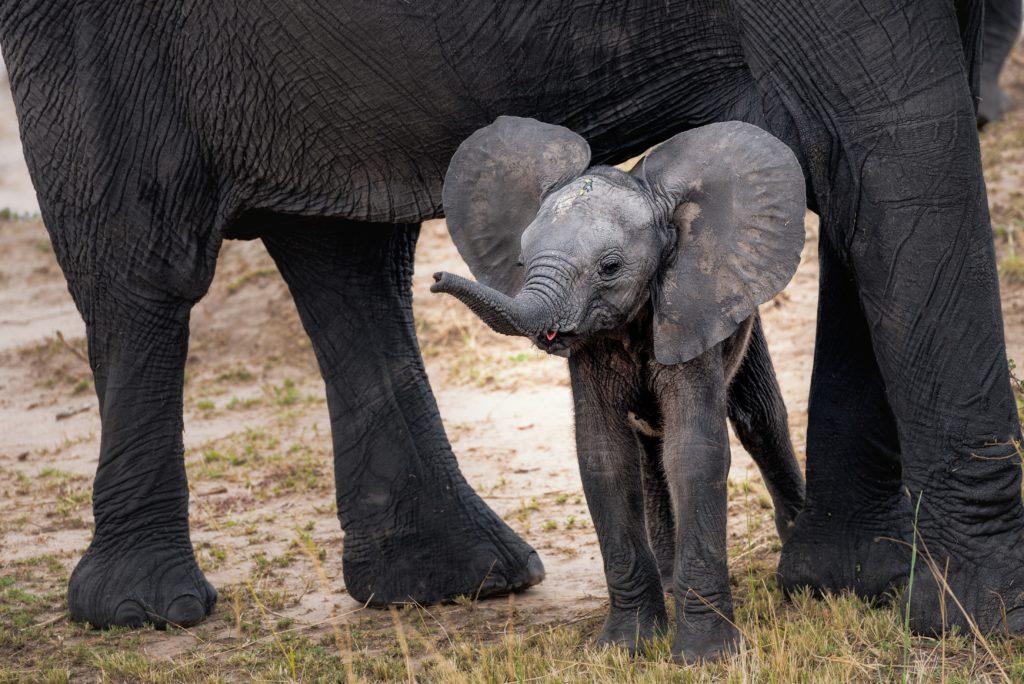 La transpiration chez les nouveau-nés éléphant d'Afrique.