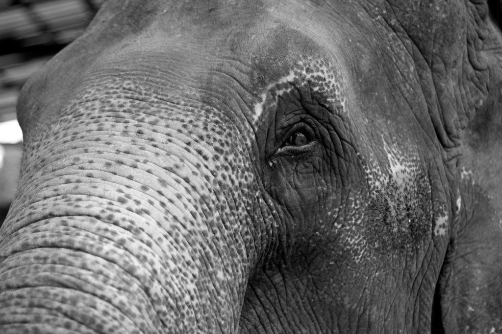 La transpiration de l'éléphant d'Asie est différente de la transpiration de l'éléphant d'Afrique.
