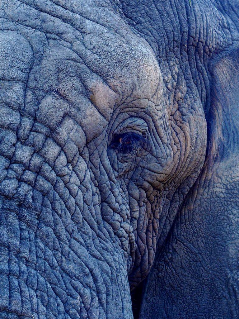 La transpiration de l'éléphant d'Afrique régule peu sa température corporelle. C'est grâce à des crevasses dans la couche cornée de sa peau qu'il peut stocker de l'eau qui en s'évaporant remplira cette fonction.