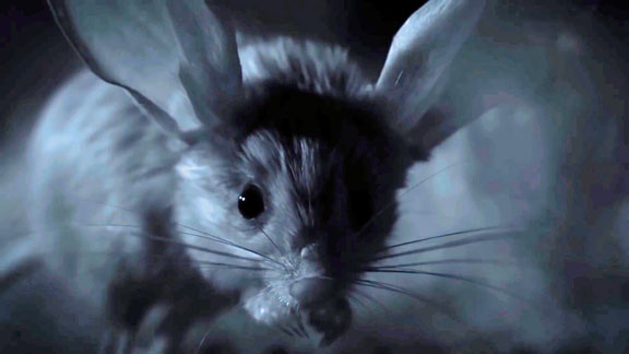 La Gerboise a de grandes oreilles pour réguler sa température corporelle